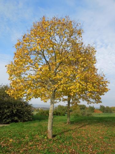 arbre, or, automne,