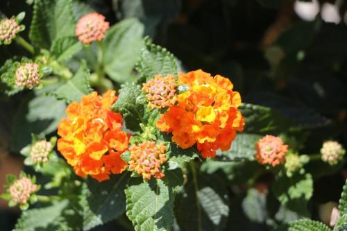 fleur,été,