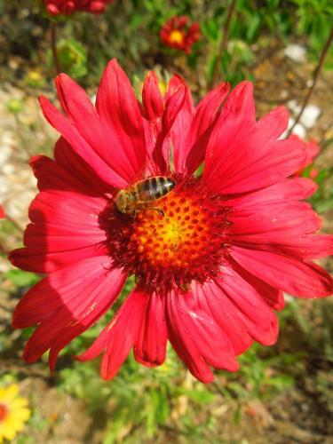 abeille,fleur,travail,