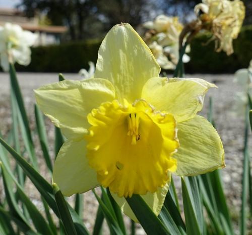 jacinthe, printemps