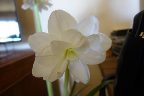 amaryllis, floraison