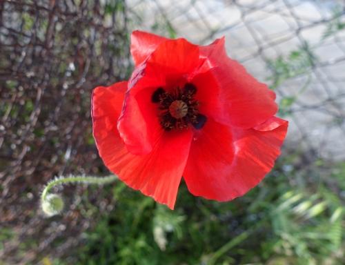 coquelicot,printemps